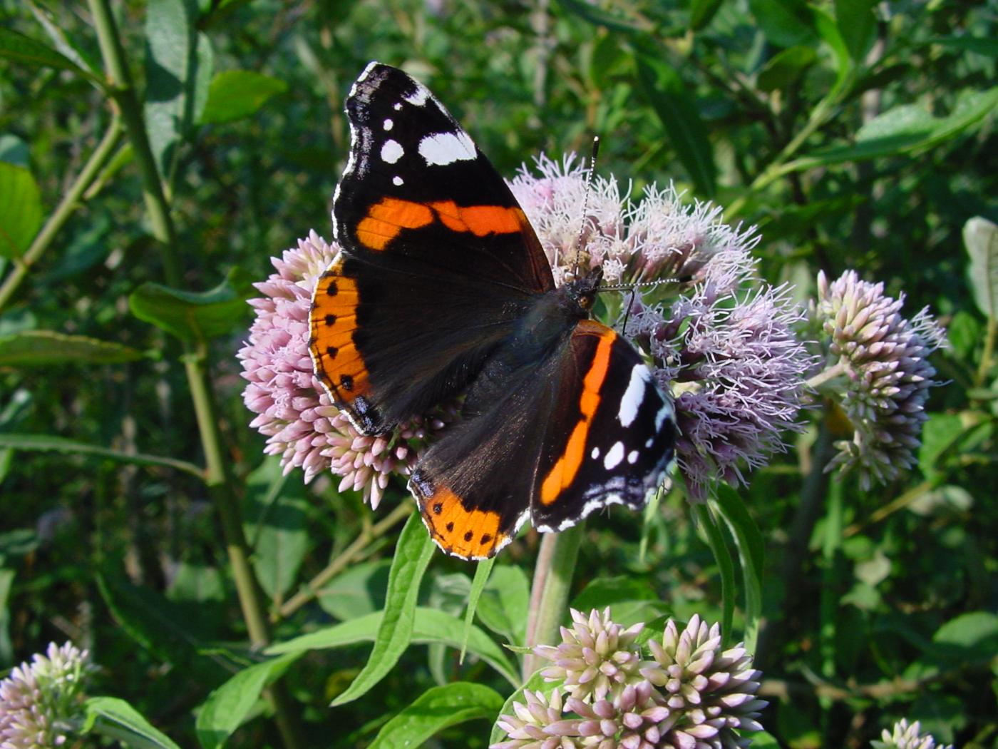 Losser vlindermee en tel alle vlinders in de tuin - Alle tuin ...